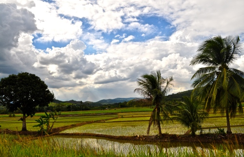Reisfelder - Tarapoto